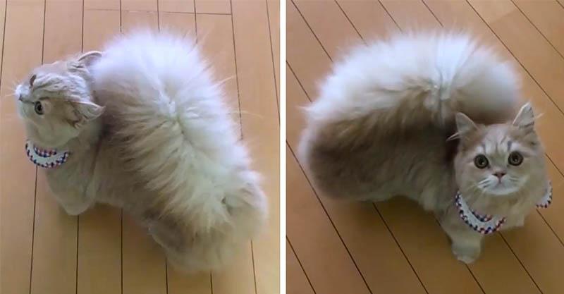有「松鼠尾巴」的爆萌貓咪 整個炸開超想把臉埋進去~